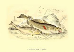Common Cod  - Haddock